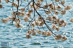 Backlit Cherry Blossoms