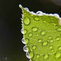 Backlit Cherry Leaf after Rain