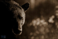 Black Bear at First Light
