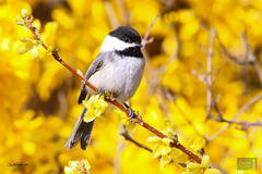 Black-capped Chickadee in Forsythia