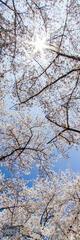 Cherry Blossom Starburst
