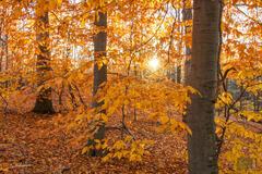 Fall Beeches