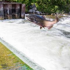 Freshwater Flying Fish
