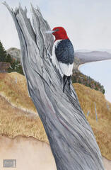 Ghost of the Forest (Red-headed Woodpecker)