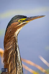 Green Heron Headshot
