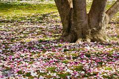 Magnolia Petals on the West Lawn
