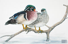 Nap Time - Wood Duck Pair