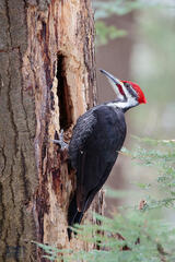 Pileated on the Prowl