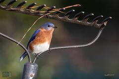 Rakish Bluebird