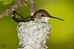 Ruby-throated Hummingbird on Nest