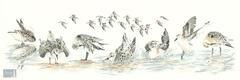 Sanderling Antics