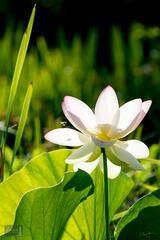 Shadowy Lotus Landing