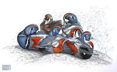 Siesta Time (Harlequin Ducks)