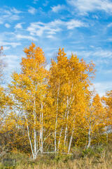Sleeping Bear Birches