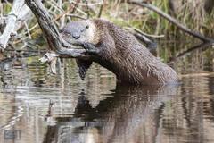Sleeping River Otter