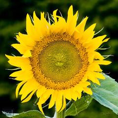 Summer Sunflower Portrait