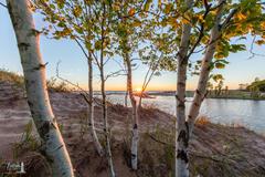 Sunset through the Birches