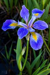 Wild Blue Flag Iris
