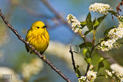 Yellow Warbler with Black Cherry Blossoms