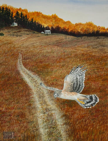 Original watercolor painting of a Northern Harrier hawk flying over a two track road at Treat Farm in Michigan's Sleeping Bear Dunes National Lakeshore.