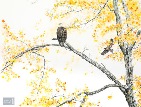 Original watercolor painting of a Bald Eagle in a tree with autumn color.