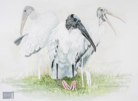 Original watercolor painting of Wood Storks resting.