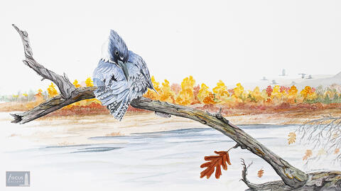 Original watercolor painting of a Belted Kingfisher preening in autumn with fall colors in background.