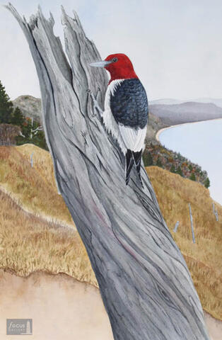 Original watercolor painting of a Red-headed Woodpecker bird on a dead ghost tree in the Empire Bluffs of Sleeping Bear Dunes National Lakeshore in Michigan.