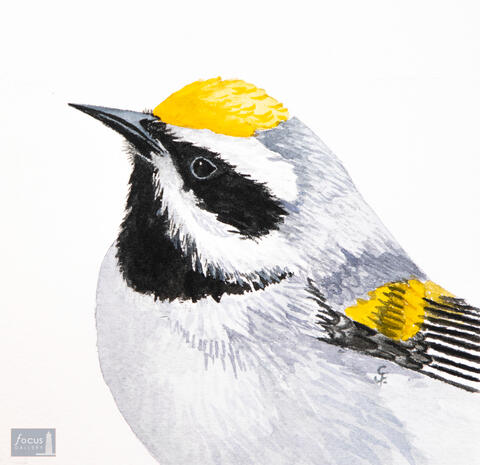 Original watercolor painting of the detail of a Golden-winged Warbler bird's head and feathers.