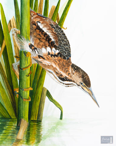 Original watercolor painting of a Least Bittern bird looking into the water.