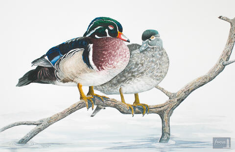 Original watercolor painting of a pair of Wood Ducks sleeping on a stick.