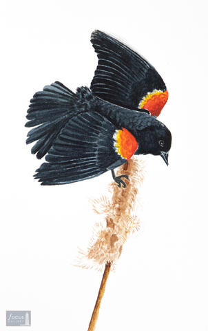 Original watercolor painting of a male Red-winged Blackbird on a cattail.