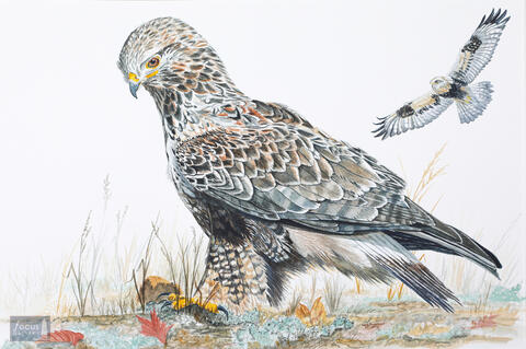 Original watercolor painting of two Rough-legged Hawks, one sitting and one in flight.