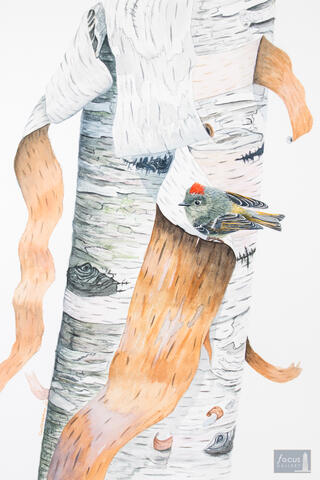Original watercolor painting of a Ruby-crowned Kinglet bird on a birch tree.