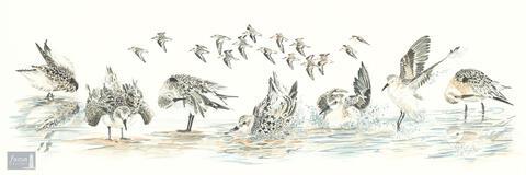 Original watercolor painting of a group of Sanderling shorebirds in various poses.
