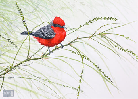 Original watercolor painting of a Vermillion Flycatcher bird perched on a branch.