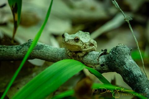Benzie, Benzie County, GTRLC, Grand Traverse Regional Land Conservancy, Mount Minnie, Mt. Minnie, Spring Peeper, amphibian, frog...
