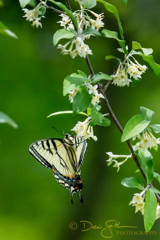 Autumn Olive, Benzie, Benzie County, GTRLC, Grand Traverse Regional Land Conservancy, Mount Minnie, Mt. Minnie, butterfly, flower...