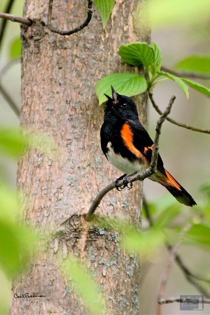 American Redstart Singing