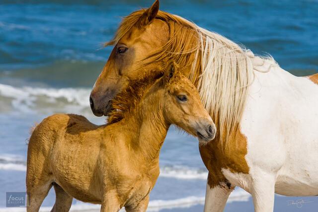Wild mare and foal (Equus caballus) on the beach at Assateague Island National Seashore.
