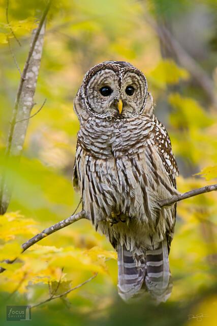 A Barred Owl (Strix varia) amidst autumn colors.