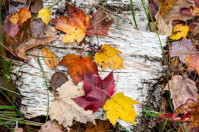 Autumn leaves on birch bark.