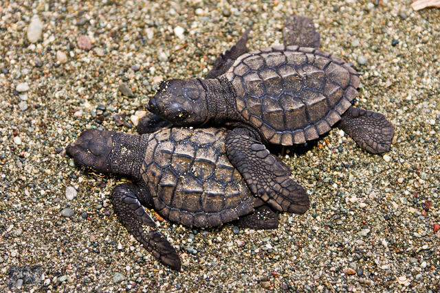 Black Sea Turtle (Chelonia agassizzii) hatchlings