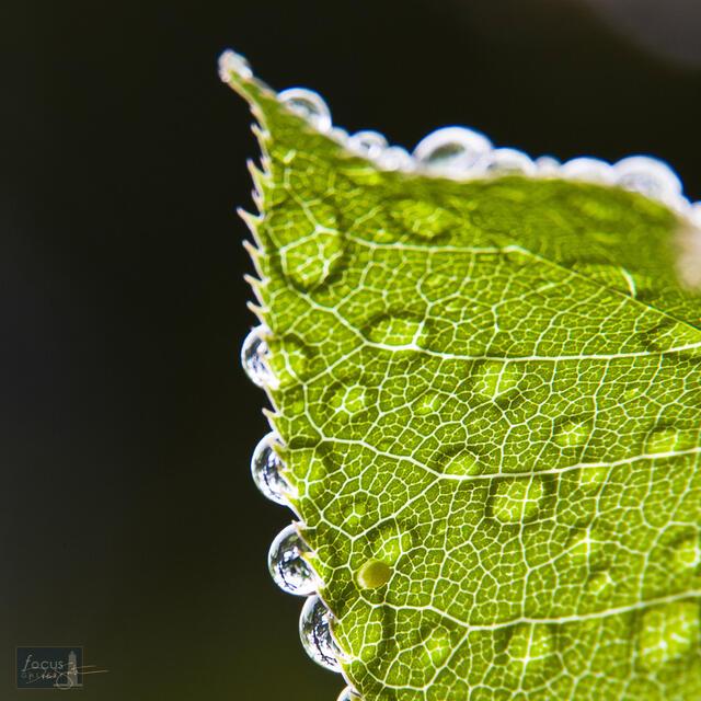 Raindrops on a backlit Black Cherry leaf.