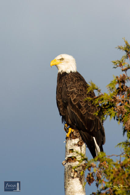 Bald Eagle on M22