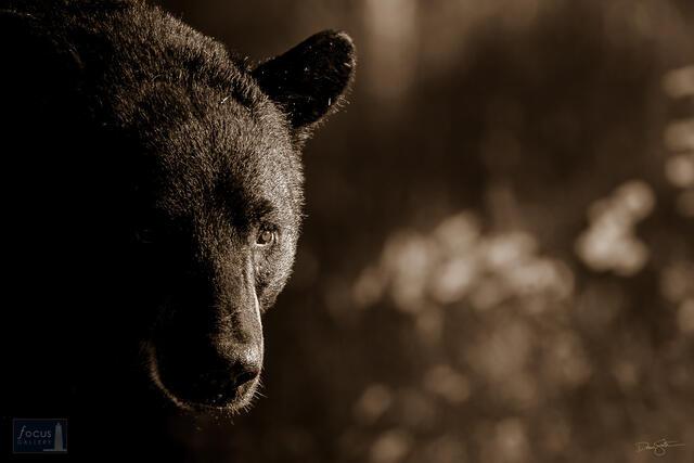 Black bear (Ursus americanus) in early morning light, sepia tone.