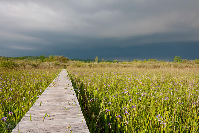Boardwalk through iris blossoms at Upper Herring Lake Nature Preserve.