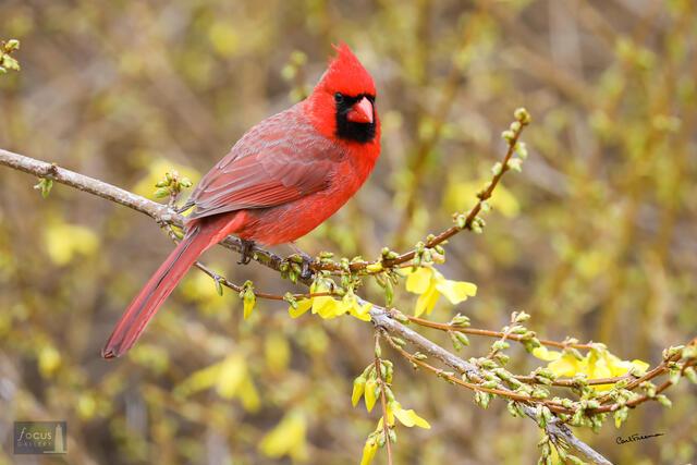 Cardinal in Forsythia