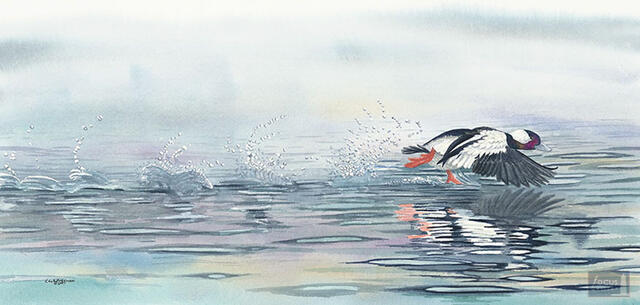 Limited edition Print of Original watercolor painting of a Bufflehead duck taking off.