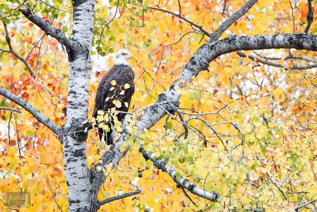 Fall Aspen Eagle